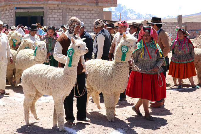 Largest parade of alpacas 5